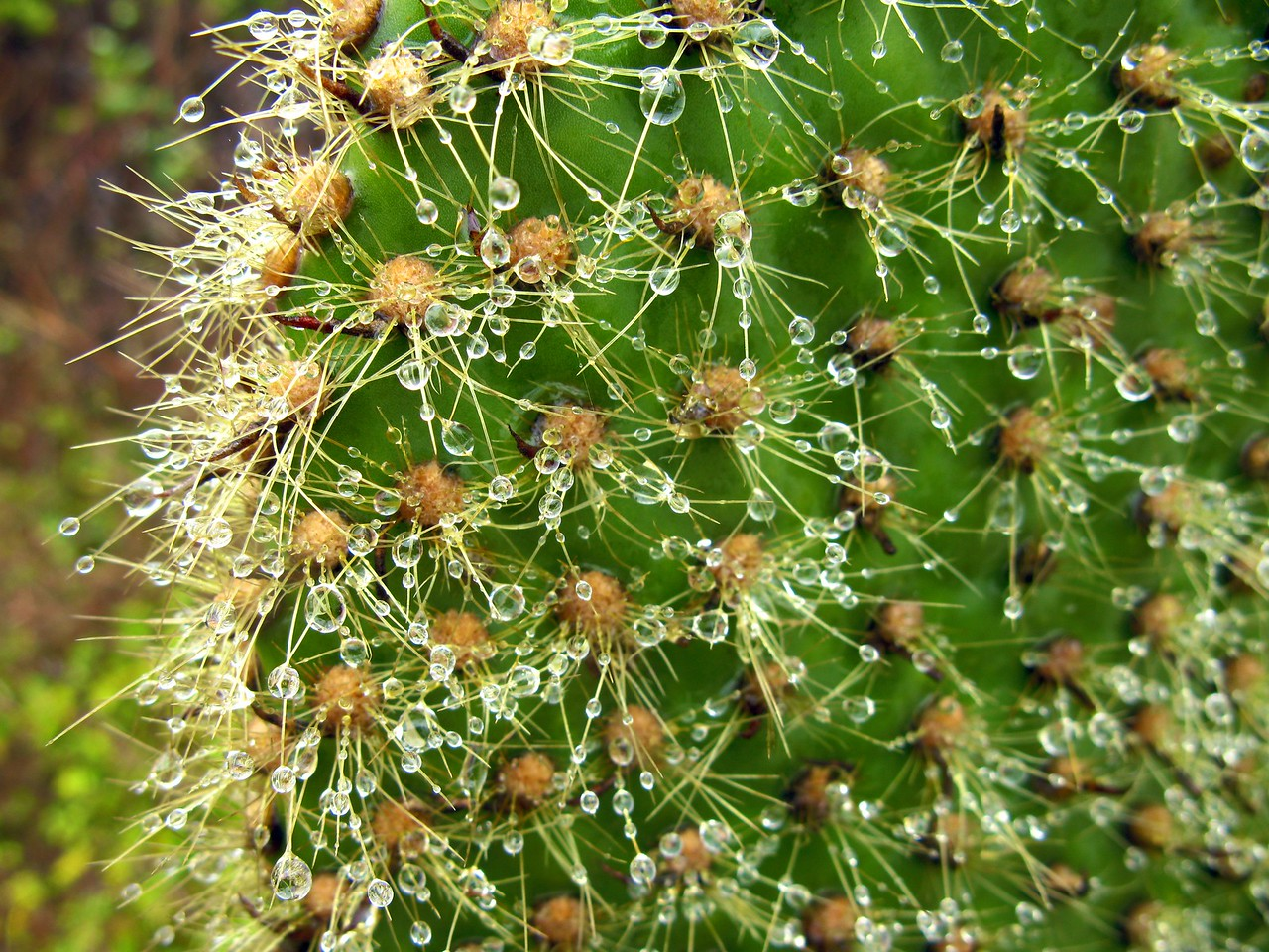 Wet cactus (highlands of Isabela). Published in the Spring/Summer 2012 issue of Destinations magazine (New Zealand).