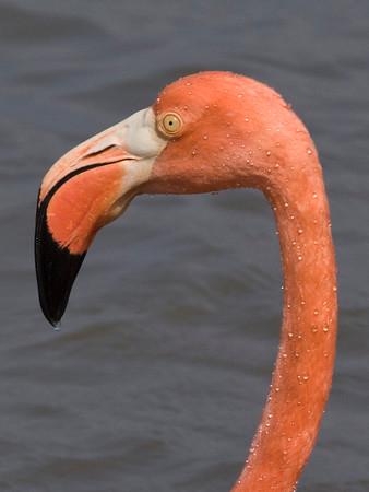 Flamingo (obviously!)