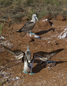 A male blue-footed boobie dances; the female isn't too impressed