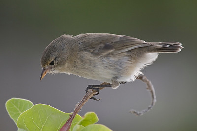 Warbler finch