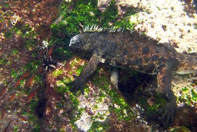 Marine iguanas eating algae from the sea floor