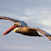 Endemic Brown Pelican. Image from North Seymour at sunrise.