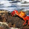 Marine Iguana and Sally light foot crab Galapagos