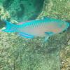 Azure Parrot Fish