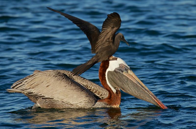 Pelican and Noddy