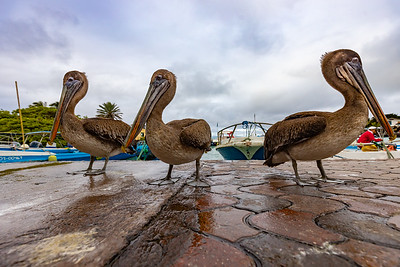 Pelicans at the fish market, waiting for scraps