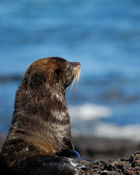 galapagos fur seal