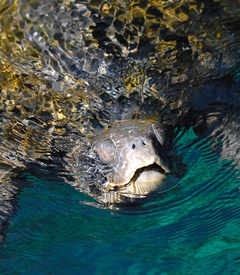 Pacific Green Turtle coming up for air