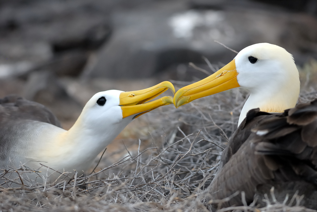 Mating behavior, Waved Albatross