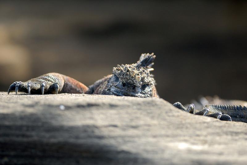 Marine Iguana hanging on