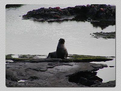 Leão marinho (Zalophus californianus wollebacki) - Baía Sullivan, I. Santiago Sea lion - Sullivan Bay, James I.