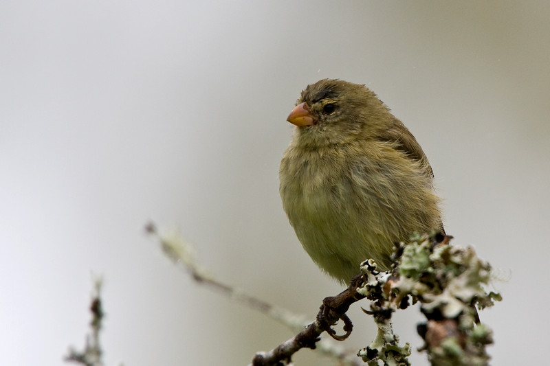 Warbler Finch, Puerto Ayora