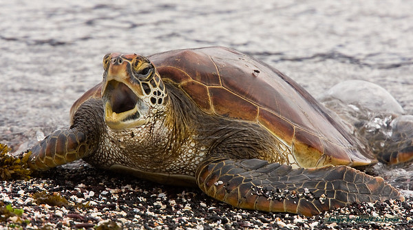 Pacific Green Sea Turtle, Fernandina Island