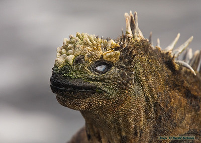 Marine Iguana eye membrane_Santiago_3526