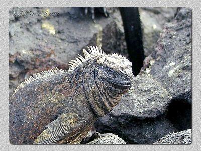 Iguana marinha (Amblyrynchus cristatus) - P. Espinoza (Fernandina) Marine iguana
