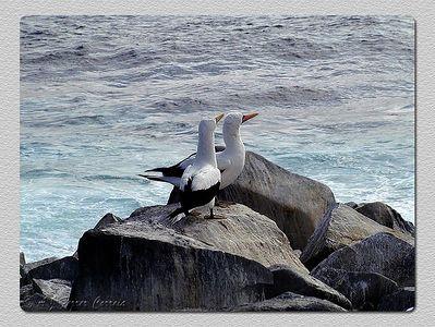 Ganso patola mascarado (Sula dactylatra) - Punta Suarez, I. Espanhola Masked booby - Punta Suarez, Hood Island