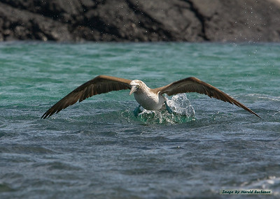 Blue-footed Booby, Isabela Island