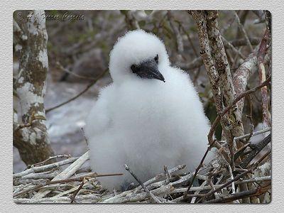 Ganso patola mascarado: cria no ninho - El Barranco, I. Genovesa Masked booby: young in the nest - El Barranco, Tower I.
