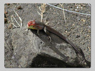 Lagarto da lava (Tropiduros sp.) - I. Santiago Lava lizzard - James I.