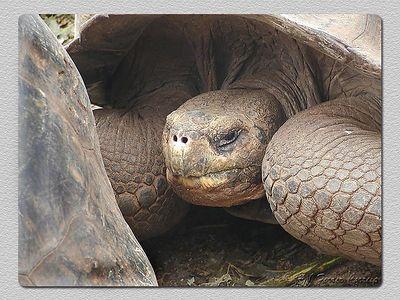Tartaruga gigante (Geochelone elephantopus) Giant tortoise
