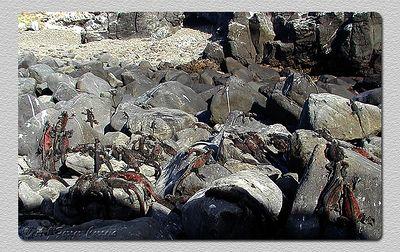 Iguana marinha (Amblyrynchus cristatus) - P. Suarez (I. Espanhola) Marine iguana - Suarez P. (Hood I.)