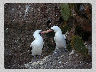 Ganso patola mascarado: casal (Sula dactylatra) - El Barranco, I. Genovesa Masked booby: a couple - El Barranco, Tower I.