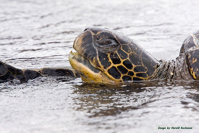 Galapagos Tortoise Swimming_Fernandina_3246