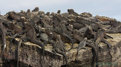 Marine Iguanas, Isabela Island