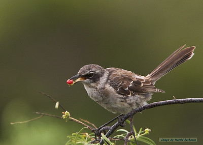 Hood Mockingbird, Isabela Island