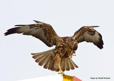 Galapagos Hawk juvenile wings spread_Espanola_9219