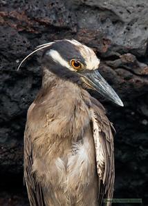 Yellow-Crowned Night Heron_Santiago_3656