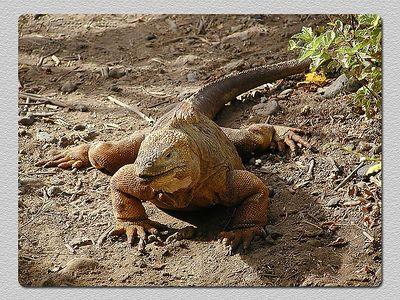 Iguana terrestre (Conolophus subcristatus) - Baía Urbina (Isabela) Land Iguana - Urvina Bay
