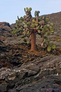 Prickly Pear Cactus_Bartolome_3118