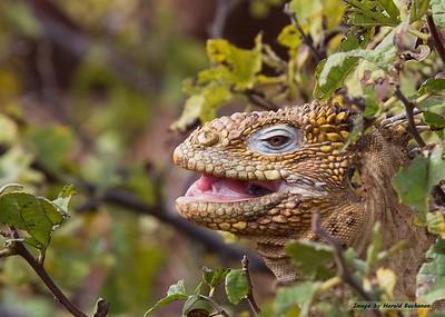 Land Iguana, Seymour Island