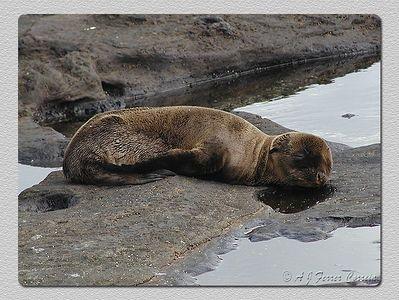 Foca dos Galápagos juvenil (Arctocephalus galapagoensis) - Baía Sullivan, I. Santiago Young fur seal - Sullivan Bay, James I.