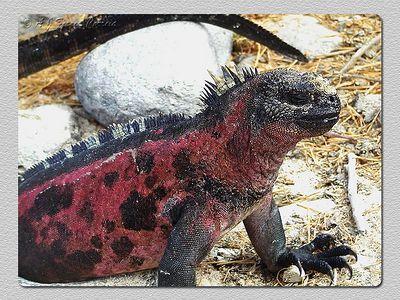 Iguana marinha (Amblyrynchus cristatus) - P. Suarez (Espanhola) Marine iguana - Suarez P. (Hood)