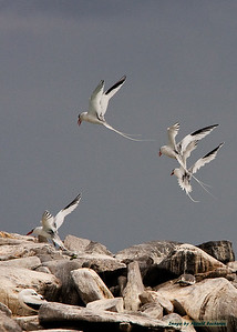 Red-billed Tropicbirds landing_Espanola_9516