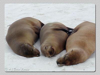 Leões marinhos (Zalophus californianus wollebacki) - B. Gardner, I. Espanhola Sea lions - Gardner Bay, Hood Isl.