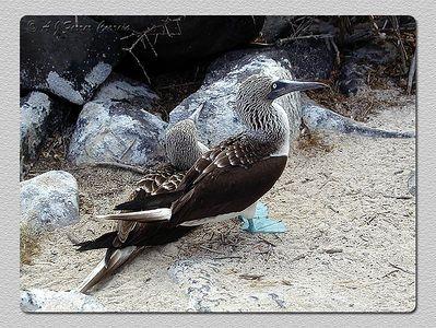 Ganso patola de pés azuis (Sula nebouchii) - Punta Suarez, I. Espanhola Blue footed booby - Punta Suarez, Hood Island