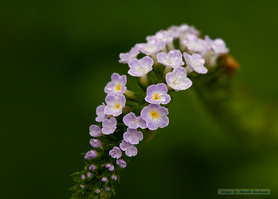 Wildflowers_Puerto Ayora_1959
