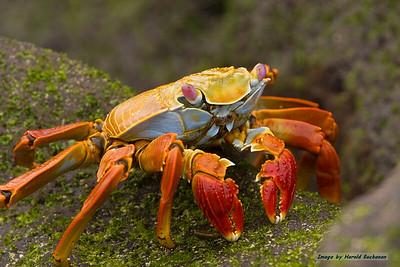 Sally Lightfoot Crab_Espanola_9436