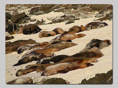 Leões marinhos (Zalophus californianus wollebacki) - I. Espanhola Sea lions - Hood Isl.