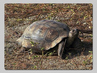 Tartaruga gigante (Geochelone elephantopus) - Baía Urbina (Isabela) Giant tortoise