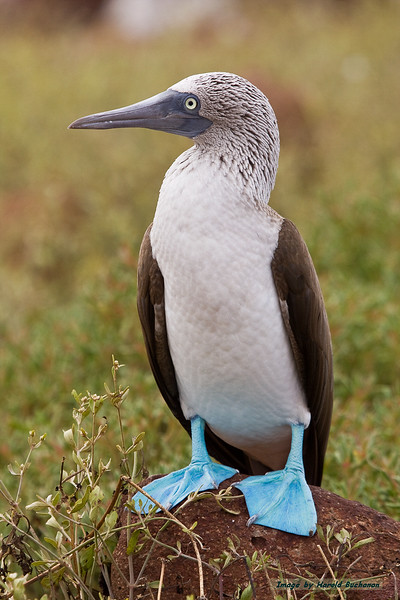 Blue-footed Booby, Seymour Island