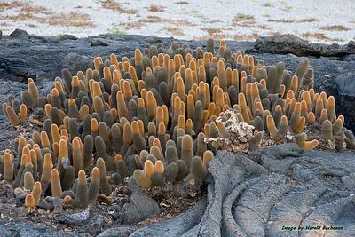 Lava Cactus_3401