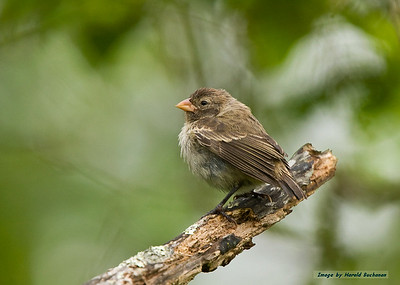 Tree Finch, Puerto Ayora