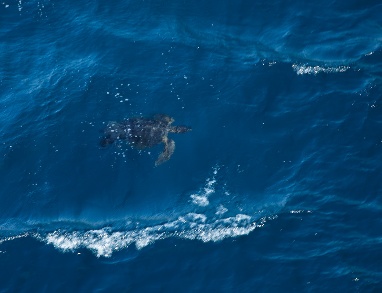 Sea Turtle swimming next to the boat
