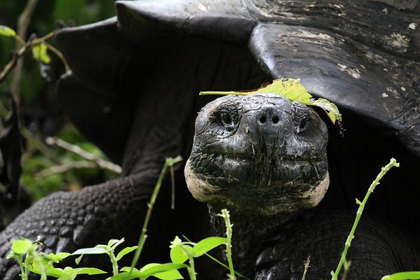 Wild giant land turtle.