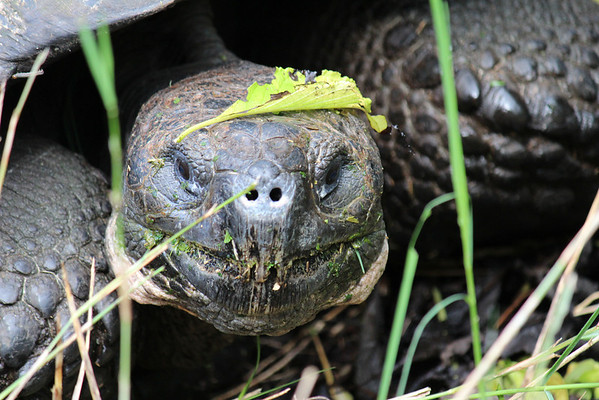 Giant land turtle in Santa Cruz island.