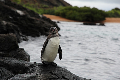 Penguin - in Galapagos there are world's most northern penguin population.